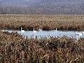 Tundra Swans (8099910424).jpg