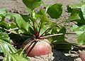 Turnip J1.jpg