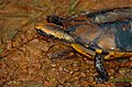Twist-neck Turtle (Platemys platycephala) (10359345524).jpg
