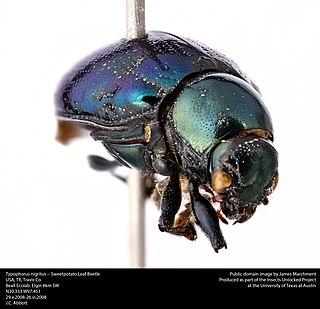 <i>Typophorus</i> Genus of leaf beetles from North and South America