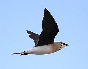 Black-winged pratincole - Image: Tyrkyshka