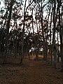 UCSD Eucalyptus Grove 1 2013-08-29.jpg