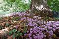 UK, Sussex - Common Dog Violet in Petworth Park.jpg