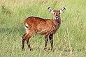 Ugandan defassa waterbuck (Kobus ellipsiprymnus defassa) juvenile female.jpg