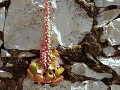 Umbilicus rupestris red.jpg