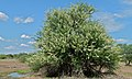 Umbrella Thorn Acacia (Acacia tortilis) (6017675489).jpg