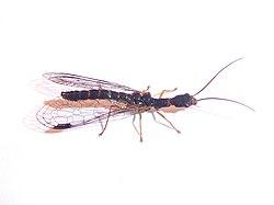Unidentified Inocelliidae Piazzo 02.jpg