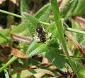 Unidentified bee species 3 - Flickr - S. Rae (1).jpg