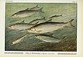 Unsere Süßwasserfische (Tafel 24) (6102600905).jpg