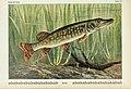 Unsere Süßwasserfische (Tafel 29) (6103147244).jpg