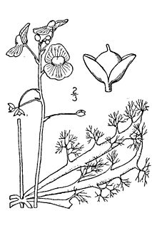 <i>Utricularia inflata</i> species of plant