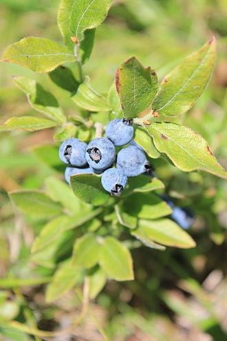 Vaccinium myrtilloides - Image: Vaccinium myrtilloides berries