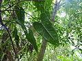 Vegetación de la Reserva de la Biosfera La Amistad Panama (RBLAP) 14.JPG