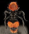 Velvet Ant, F, Back, Hot Springs Village, AR 2015-08-20-16.24.57 ZS PMax UDR (21473550145).jpg