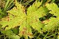 Venturia.geranii2.-.lindsey.jpg