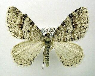<i>Venusia</i> (moth) Genus of moths