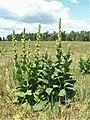 Verbascum densiflorum kz01.jpg