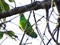 Vernal Hanging Parrot - Mugilu Homestay 01.jpg