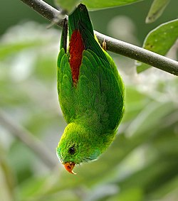 Vernal Hanging Parrot jpeg.jpg