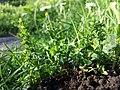 Veronica serpyllifolia subsp. serpyllifolia sl2.jpg