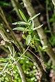 Veronica stricta in Christchurch Botanic Gardens 02.jpg