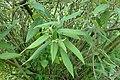 Viburnum buddleifolium kz4.jpg
