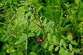 Vicia-angustifolia-segetalis-foliage.jpg