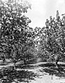 View down a row of flowering trees in orchard, Yakima Valley, ca 1910s (INDOCC 1357).jpg