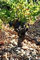 Vine growing Rhône Valley - Châteauneuf-du-Pape.jpg