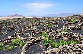 Vineyard - Tiagua - 04.jpg