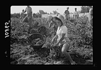 Vintage activities at Richon-le-Zion, Aug. 1939. Group of grape pickers (a closer study) LOC matpc.19757.jpg