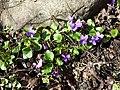 Viola alba subsp. violacea sl15.jpg