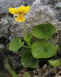 Viola biflora Kilpisjarvi 2012-07.jpg