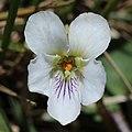 Viola keiskei (flower s8).jpg