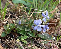 Viola riviniana LC0018.jpg
