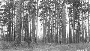 Finkbine-Guild Lumber Company - Virgin longleaf pine forest, 1925