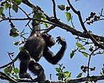 A chimpanzee in a tree.