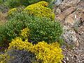Volterraio - Blühende Büsche 1.jpg