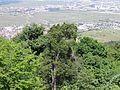 Vue depuis le château du Hohlandsbourg (654 m) - ville (Wintzenheim).jpg