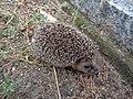 Włocławek-hedgehog at Cemetery.jpg