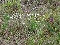 WLE2019 - Frasne-Bouverans - Eriophorum vaginatum 01.jpg