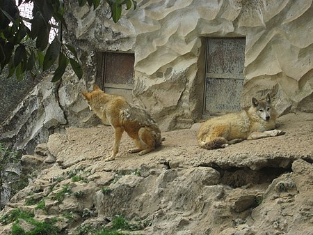 Wolves in the Padmaja Naidu Himalayan Zoological Park in Darjeeling WOLVES.jpg