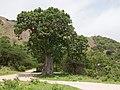 Wadi Hinna Baobab.jpg
