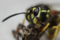 Wasp Meal Crop (2716247215).jpg