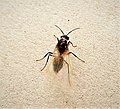 Wasp with parasites (48365969717).jpg
