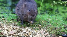 File:Water Vole.webm