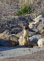 Weasel (15661291199).jpg