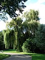 Weeping Willow BBG.JPG