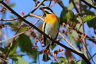 Western spindalis species of bird