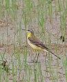 Western yellow wagtail -Motacilla flava.jpg